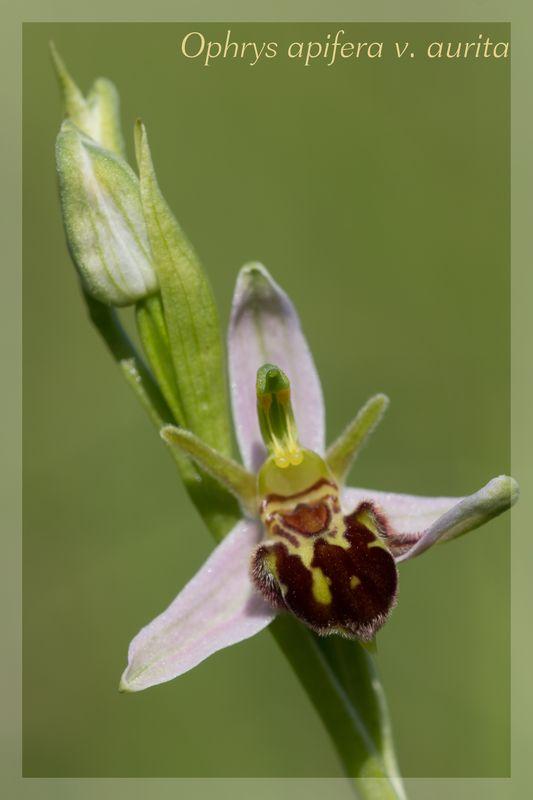 Ophrys apifera (Ophrys abeille ) Aurita10