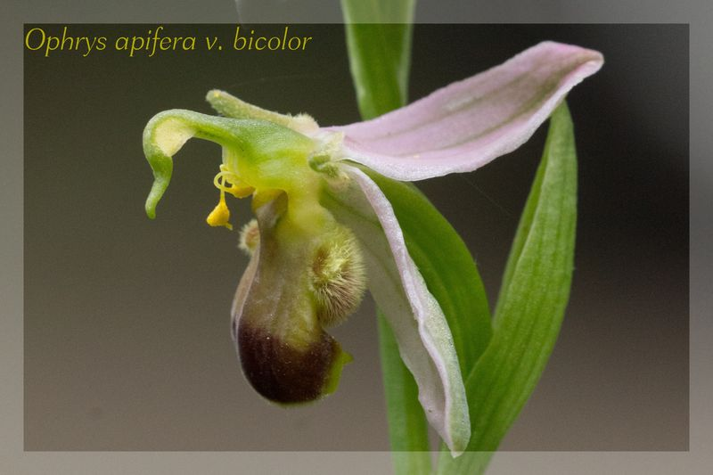 Ophrys apifera (Ophrys abeille ) Bicolo10