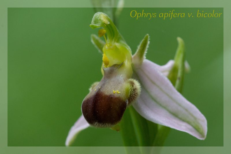 Ophrys apifera (Ophrys abeille ) Bicolo12