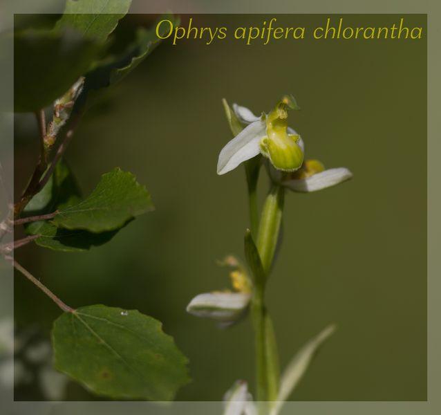 Ophrys apifera (Ophrys abeille ) Chlora11