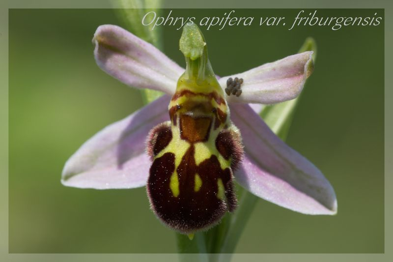 Ophrys apifera (Ophrys abeille ) Fribur11