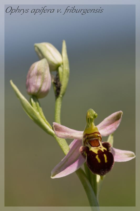 Ophrys apifera (Ophrys abeille ) Fribur13