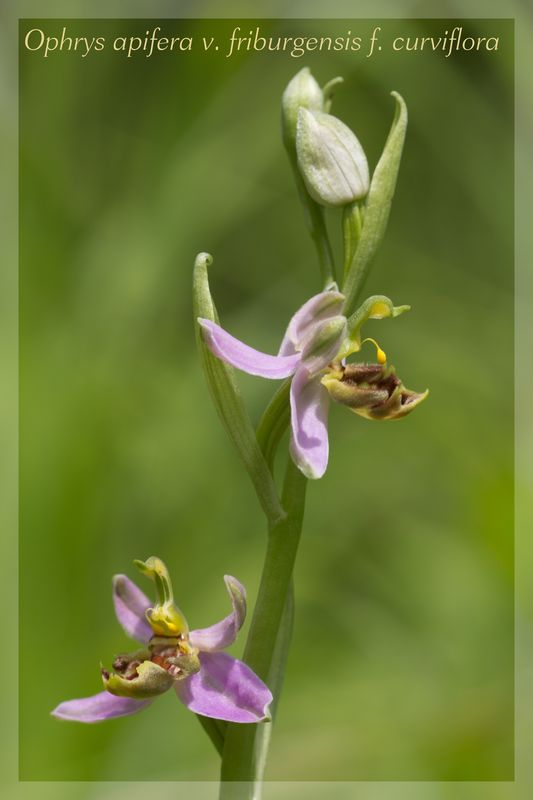 Ophrys apifera (Ophrys abeille ) Fribur15