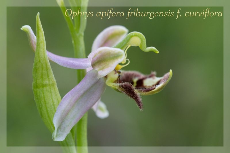 Ophrys apifera (Ophrys abeille ) Fribur16