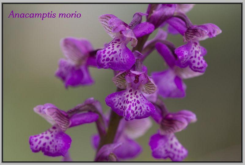 Anacamptis morio ( Orchis bouffon ) Morio_15