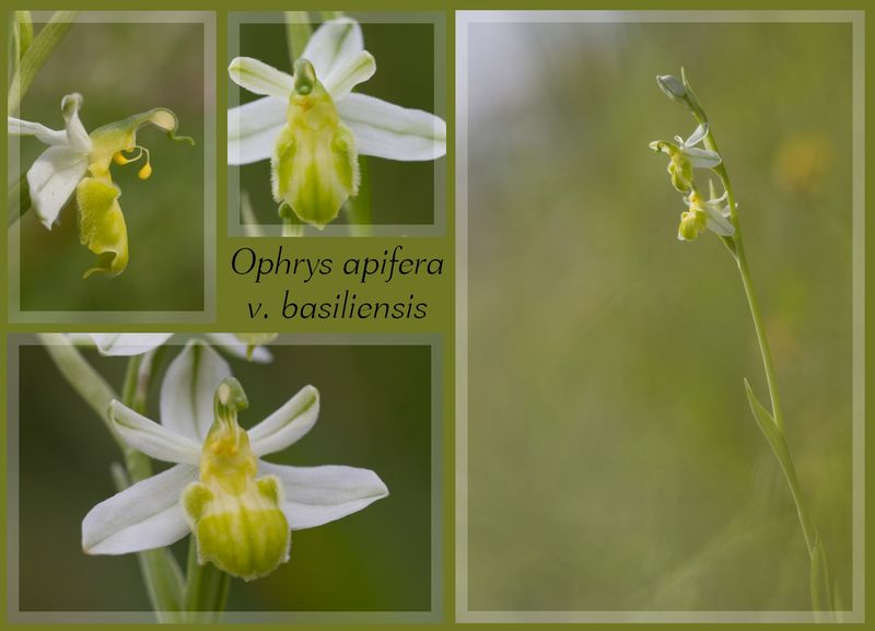 Ophrys apifera (Ophrys abeille ) Sans_t10