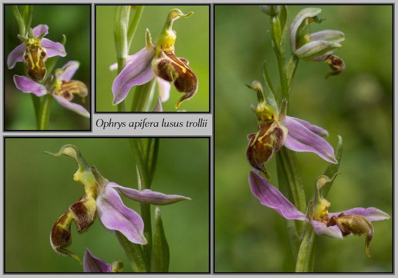 Ophrys apifera (Ophrys abeille ) Trolli12