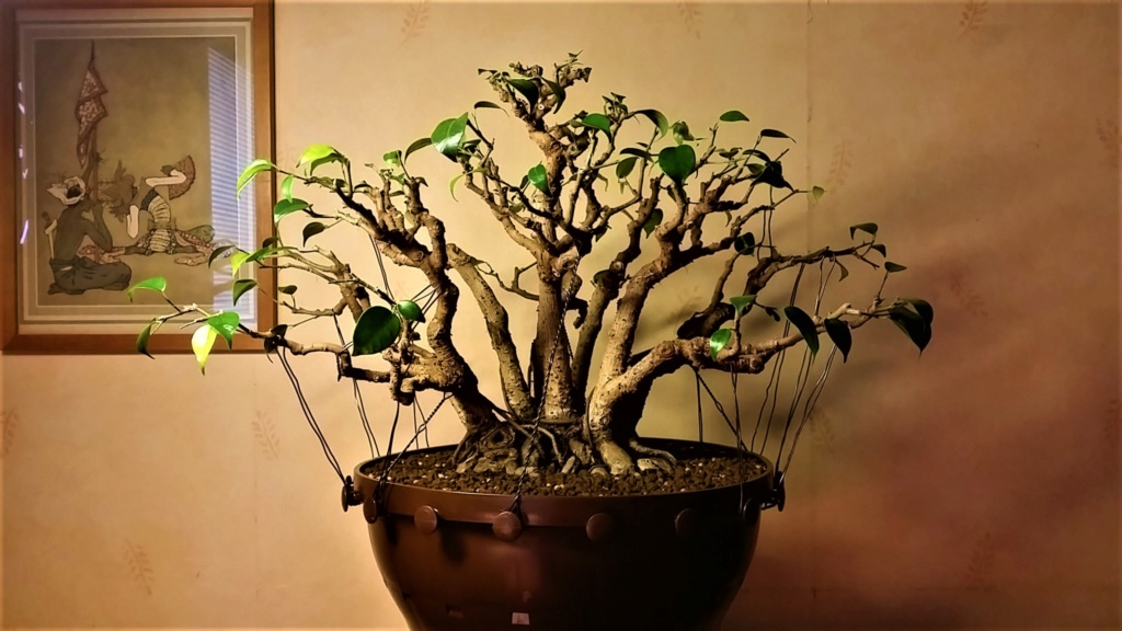 From Trash Room Benjamina to Banyan Bonsai. :) 20180910