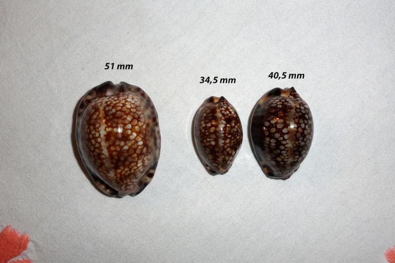 Mauritia maculifera martybealsi - Lorenz, 2002 - Page 2 Cyprae10
