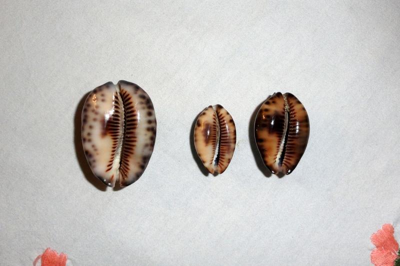 Mauritia maculifera martybealsi - Lorenz, 2002 - Page 2 Cyprae11