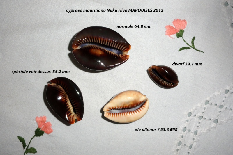 Mauritia mauritiana - (Linnaeus, 1758) - Page 5 Maurit10