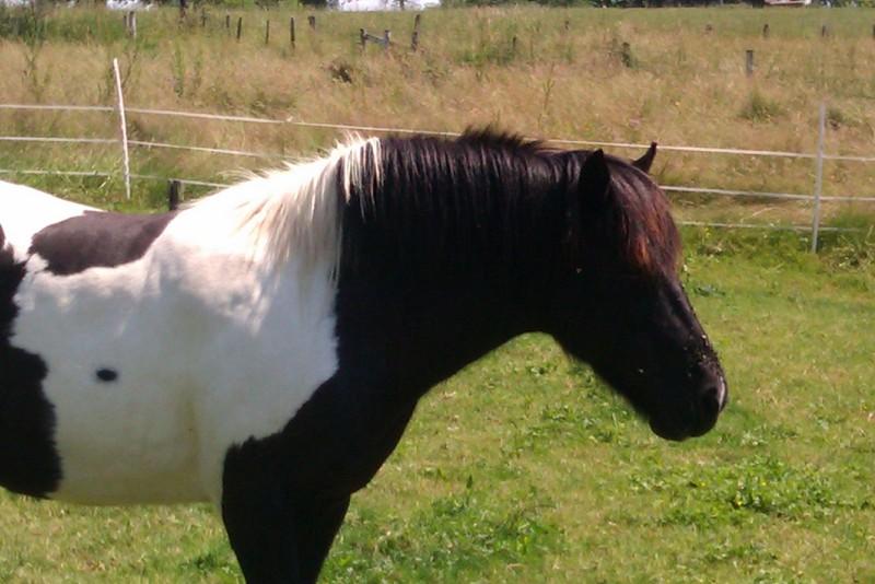 PIRATE - ONC poney né en 2003 - accueilli en refuge en août 2013 Imag0012