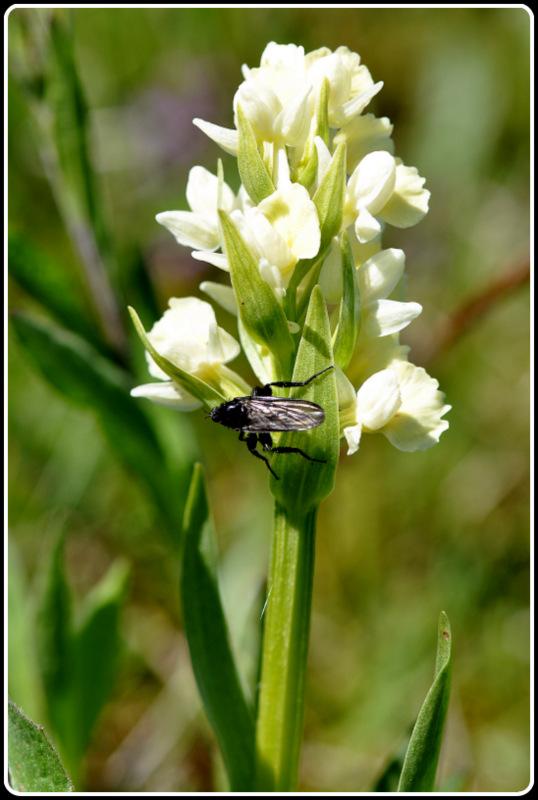 D. insularis , pollinisateur ou ... 3-dsc_11