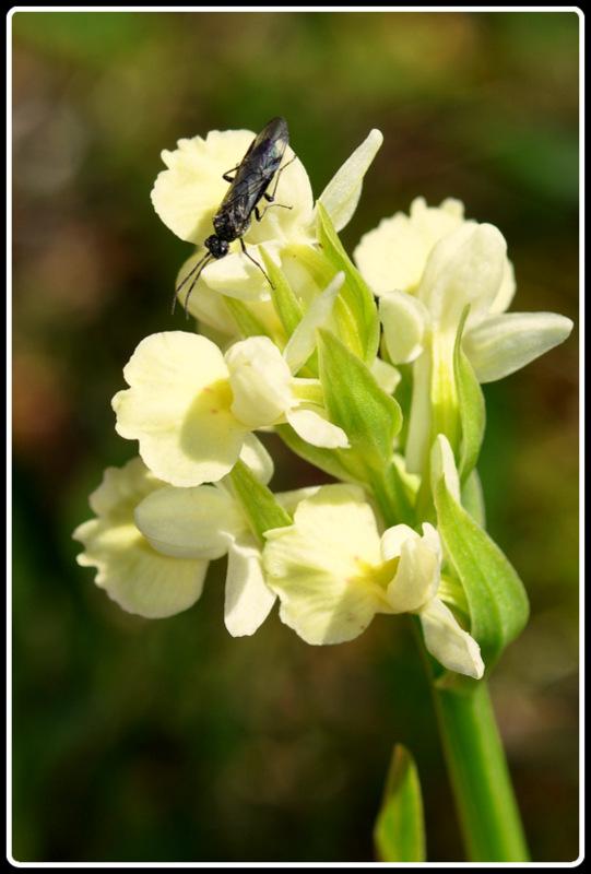 D. insularis , pollinisateur ou ... 4-dsc_10