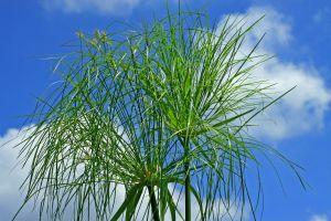 Niveau d'eau pour le Papyrus ? 12790010