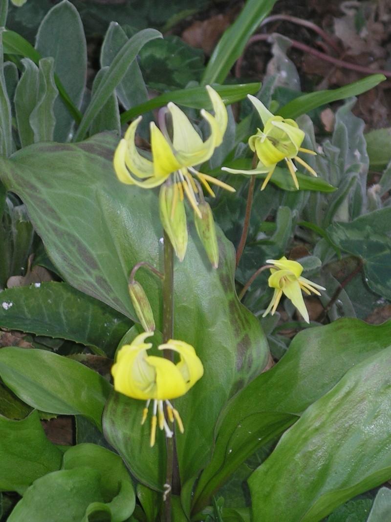 Erythronium  pagoda Erythr10