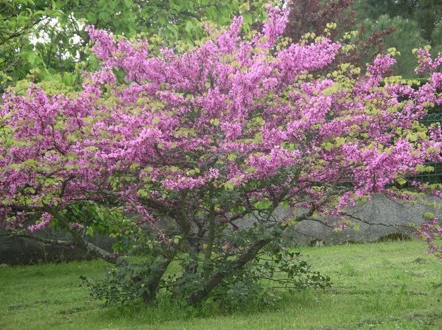 Arbres en fleurs  Imgp7350