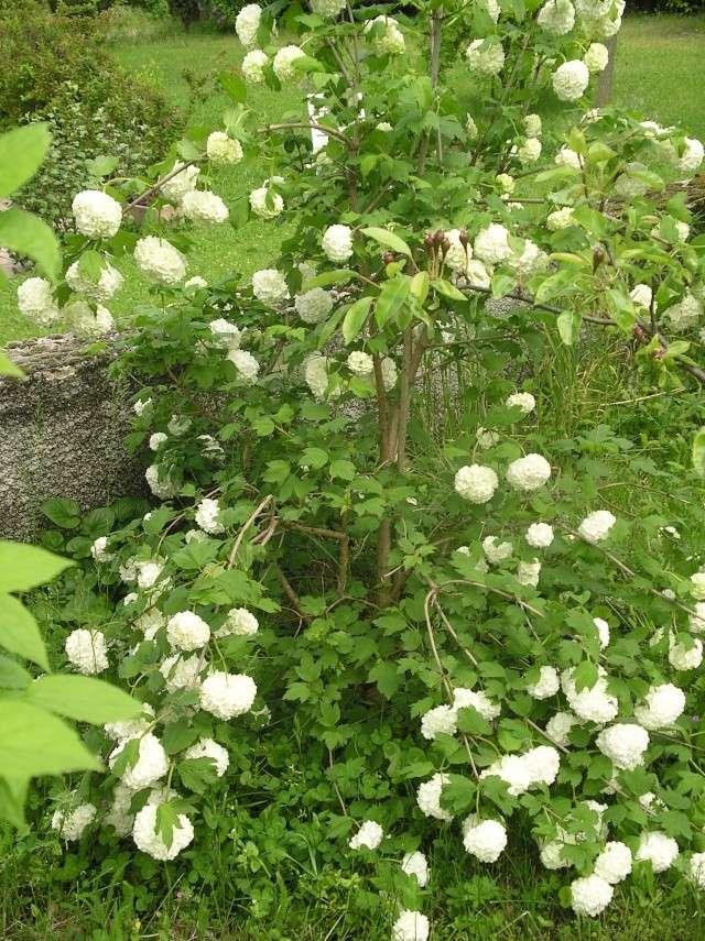 Viburnum opulus, Viorne obier, Boule de neige - Page 3 Imgp7426