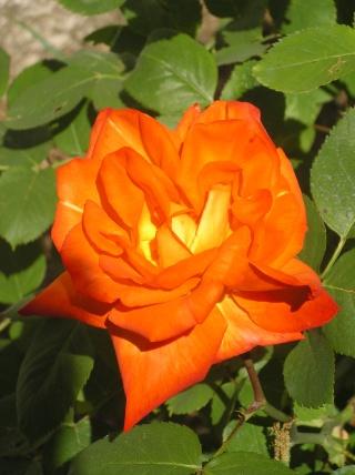 rosa France libre Imgp7614