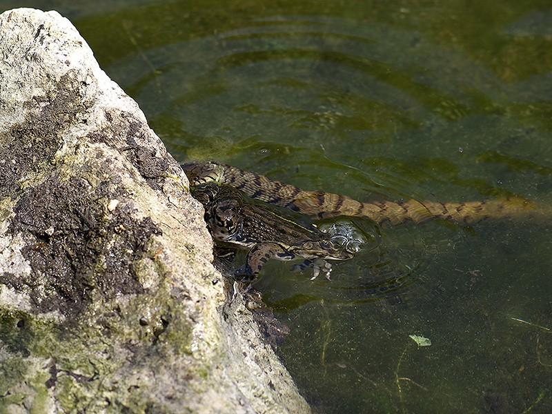 Qui a dit que la grenouille avait les yeux plus gros que le ventre? Il y a pire qu'elle, la preuve! _4255212