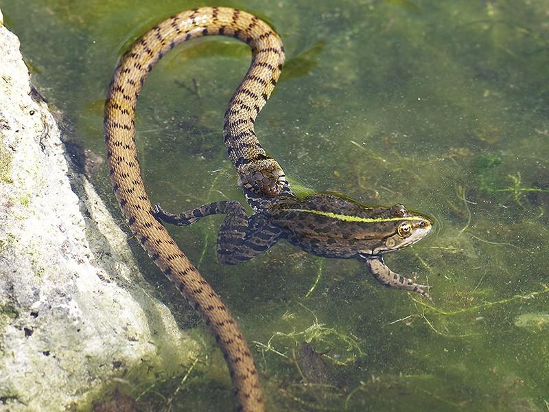 Qui a dit que la grenouille avait les yeux plus gros que le ventre? Il y a pire qu'elle, la preuve! _4255214