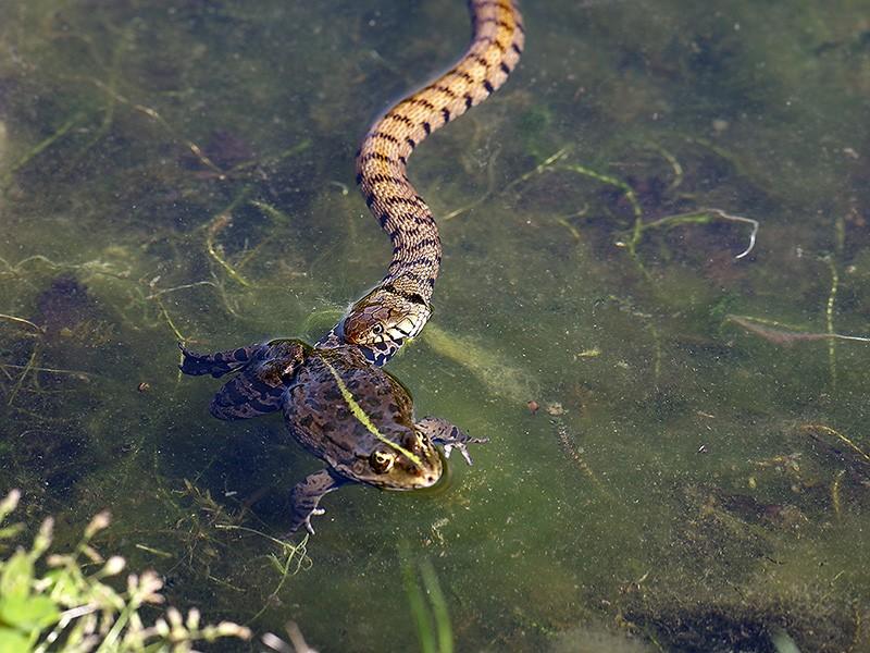 Qui a dit que la grenouille avait les yeux plus gros que le ventre? Il y a pire qu'elle, la preuve! _4255215