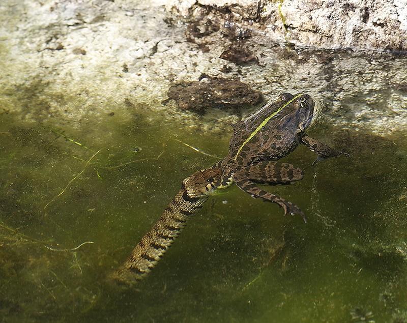 Qui a dit que la grenouille avait les yeux plus gros que le ventre? Il y a pire qu'elle, la preuve! _4255218
