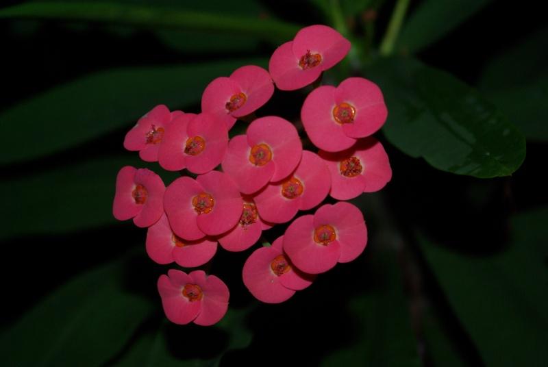 Euphorbia milii Imgp3210