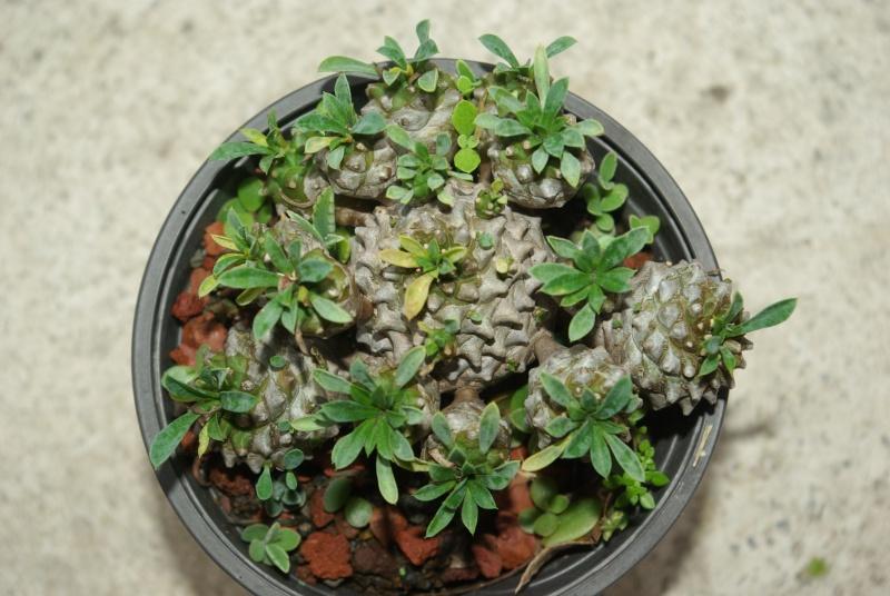 Euphorbia x japonica Imgp5727