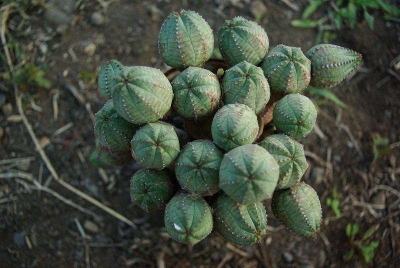 Euphorbia globosa Imgp5810