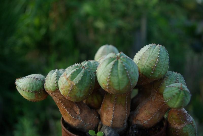 Euphorbia globosa Imgp5811