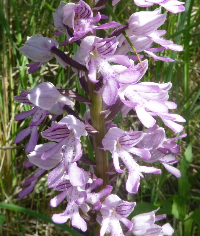 Einheimische Orchideen am Standort Orchis11