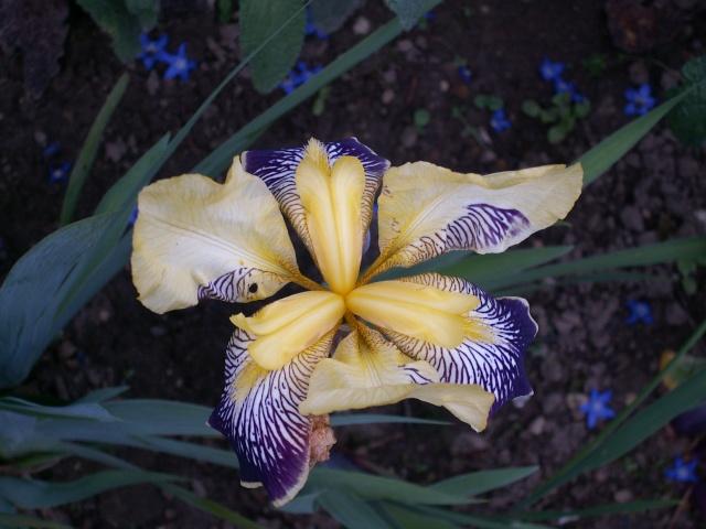 Floraisons de nos Iris barbus 2013 - Page 3 15-05_12