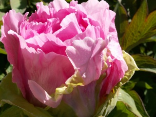 Paeonia - pivoines arbustives - Page 2 24-04-14