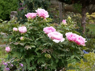 Paeonia - pivoines arbustives - Page 3 27-04-11