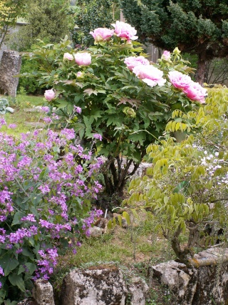 Paeonia - pivoines arbustives - Page 3 27-04-12
