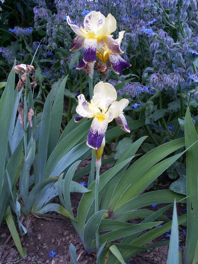 Floraisons de nos Iris barbus 2013 - Page 5 27-05-12