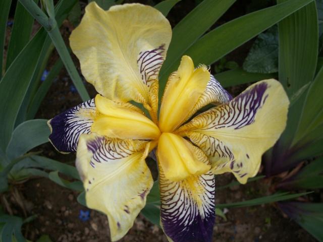 Floraisons de nos Iris barbus 2013 - Page 5 27-05-13