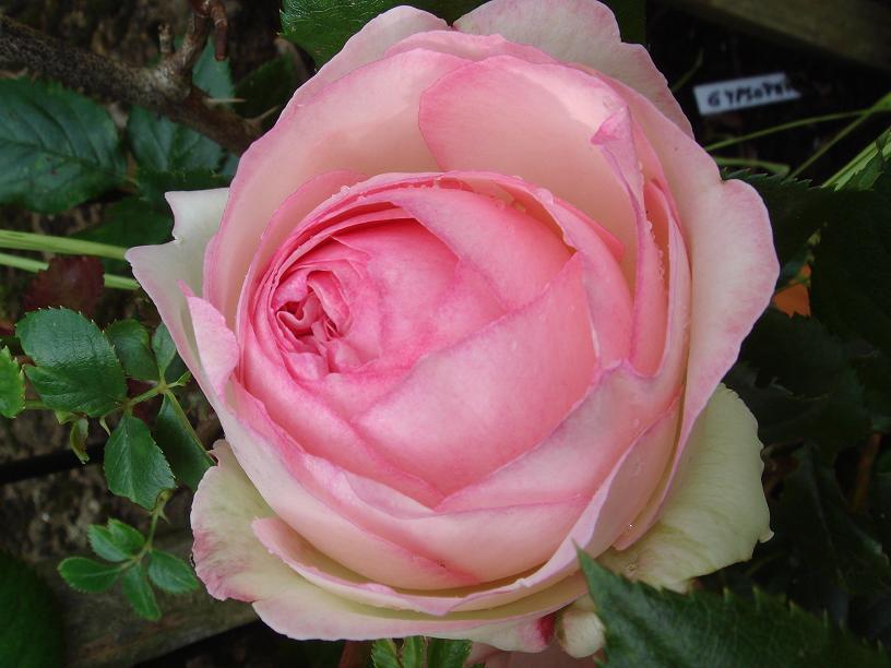 32 - La couleur rose !!! - Page 5 Dsc00015