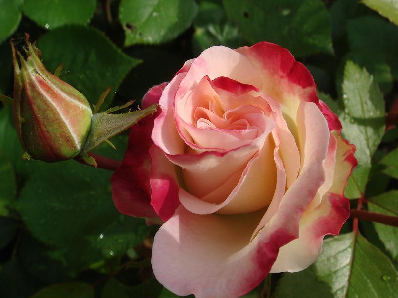 32 - La couleur rose !!! - Page 7 Dsc09727