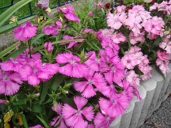 32 - La couleur rose !!! - Page 6 Dsc09926