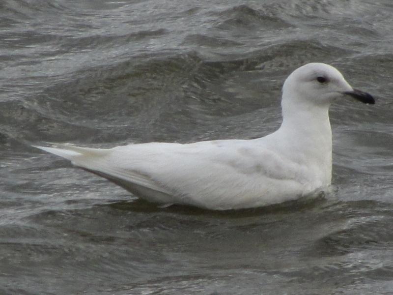 Goéland arctique, mouette blanche ou autre ? Img_1111