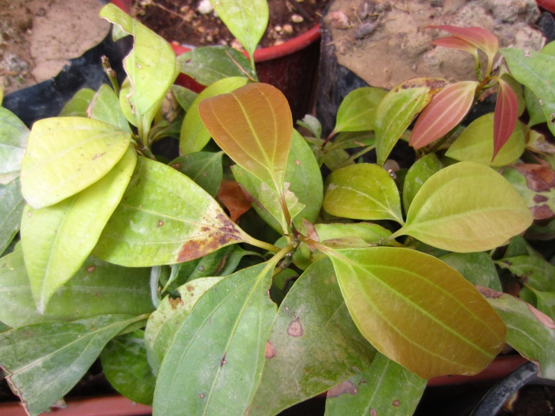 Semis de Cinnamomum verum - Page 4 Img_0212