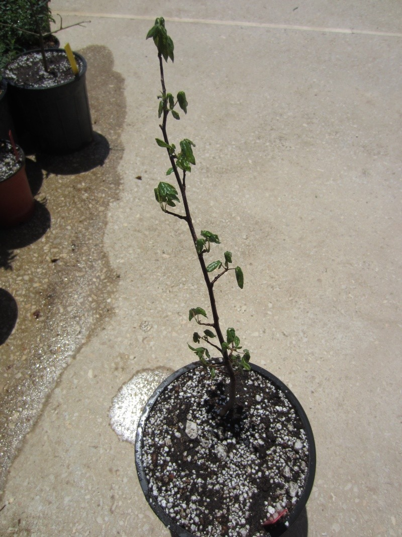 Commiphora sps collection Img_0710