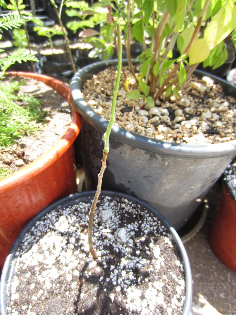 Commiphora sps collection Img_0713
