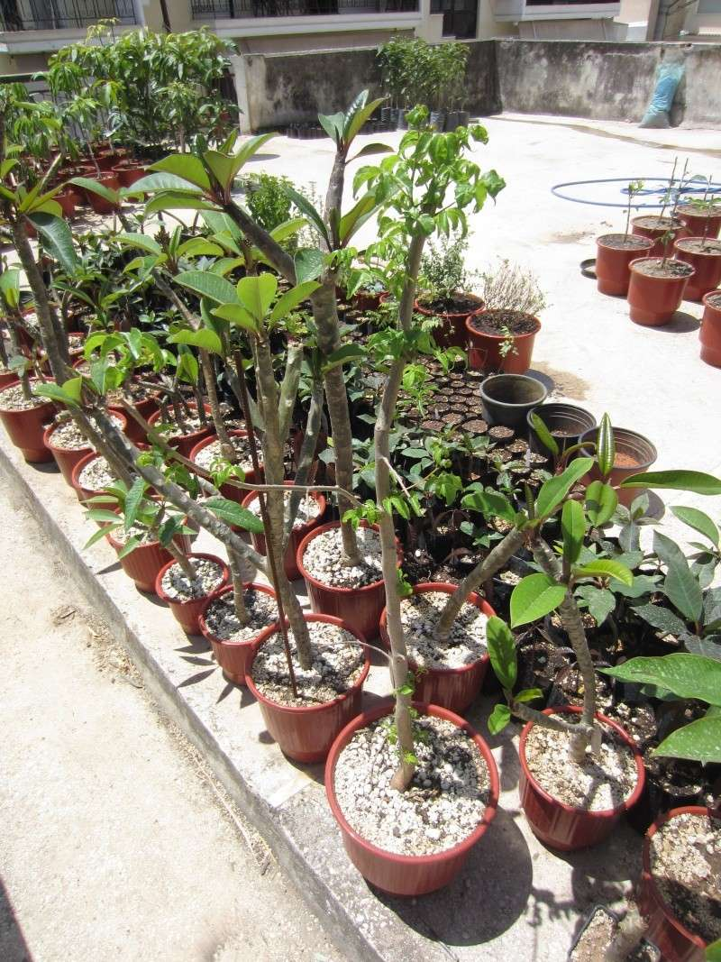 Commiphora sps collection Img_0716
