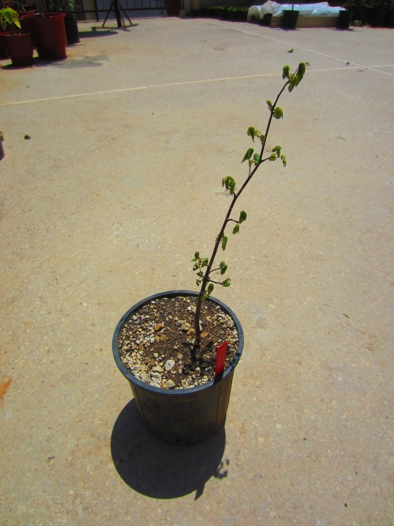Commiphora sps collection Img_0816