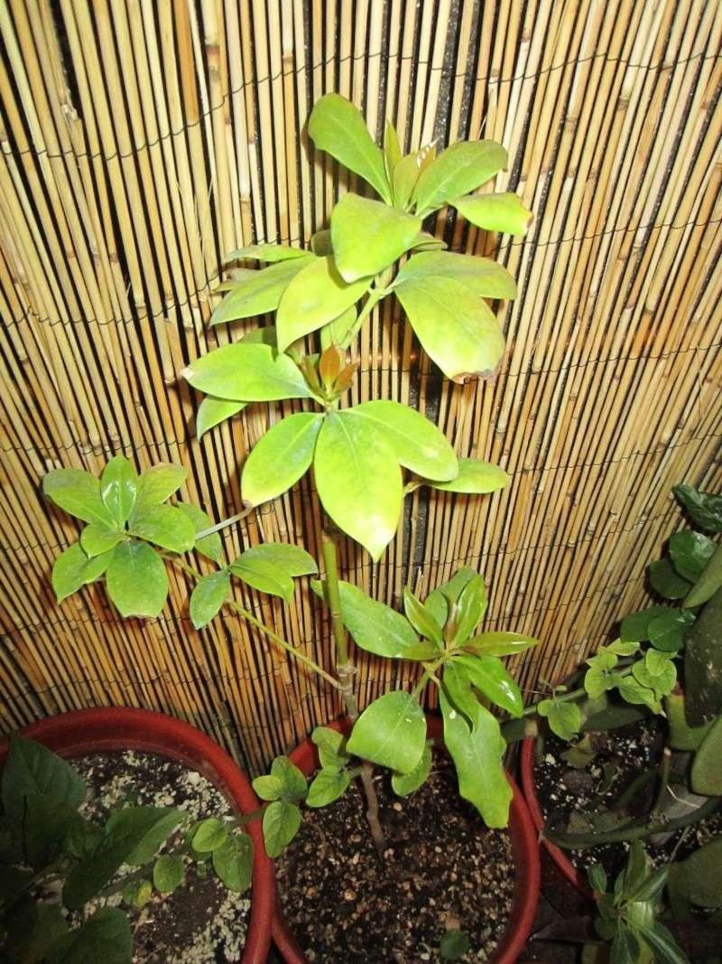 [Illiciaceae] Illicium verum, anis etoilé quelle region?!!! - Page 3 Img_9017