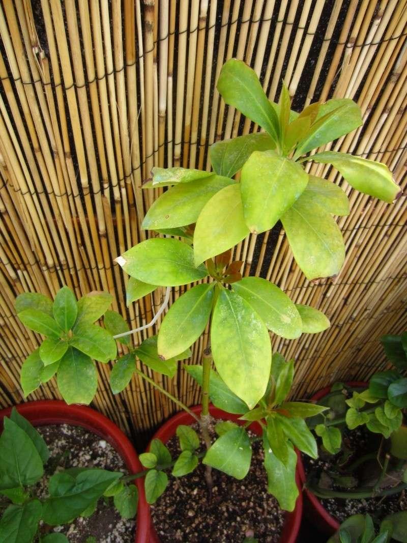 [Illiciaceae] Illicium verum, anis etoilé quelle region?!!! - Page 3 Img_9111