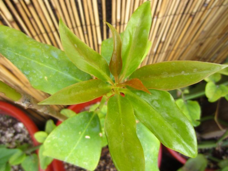 [Illiciaceae] Illicium verum, anis etoilé quelle region?!!! - Page 3 Img_9113